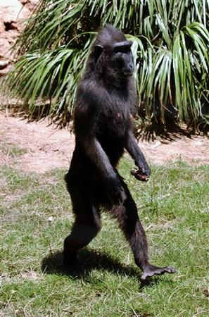 Monkey walking (animal ergonomics and humor photo)